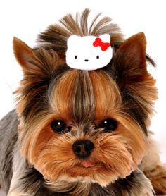 That's it, tomorrow I'm busting out my Hello Kitty patterns, felt and hairpins. MY yorkie must have this!
