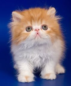 Smallest cat breeds list with funny fact and pictures about them. More cat breeds list? Visit my website. Small Cat Breeds, Cat Breeds List, Animals And Pets, Baby Animals, Cute Animals, Kittens Cutest, Cute Cats, Gato Munchkin, Teacup Kitten