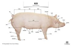 Pig (Gilt) Anatomy, Poster $7 11x17 laminated: