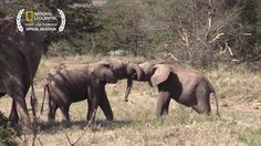 Take a break to hang out with these adorable baby elephants. andrew raynor new hampshire Elephant Gif, Elephant Love, African Elephant, Elephant Videos, Cute Baby Animals, Animals And Pets, Funny Animals, Wild Animals, Save The Elephants