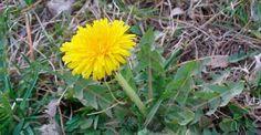 Una sola hojita de esta hierba que está en todo jardín puede salvarte la vida en un minuto, pero pocos saben cómo hacerlo!!