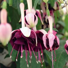 """Trailing fuchsia 'Giant Velvet Crush' Striking semi-double flowers with deep purple corollas and pale pink sepals. Grows 18"""" tall."""