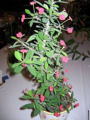 No pain involved in growing Crown of Thorns plant Garden Plants, Indoor Plants, Castor Bean Plant, Transplanting Plants, Crown Of Thorns Plant, Pork And Cabbage, Euphorbia Milii, Potting Soil, White Beans
