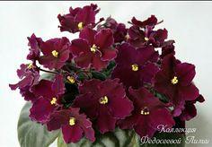 Цвет сложно передать. Он необыкновенный  #продаюфиалки#продаюцветы#комнатныецветы#цветы#сенполии#фиалкисортовые#фиалки#кмв_26#пятигорск