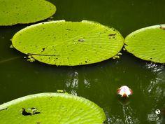 Museu da Amazônia: flor no lago das vitórias-régias - Manaus