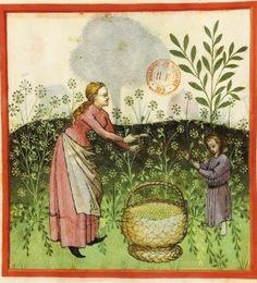 Tacuinum Sanitatis, ca. 1400 Dill