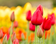 Fine Art Photograph - Spring Flower Photography - Red and Yellow Tulips - Nature Photography - wall decor - 8x10 photo