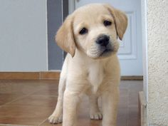 yellow lab puppies are just too cute