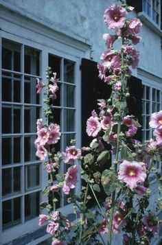 How to Harvest Hollyhock Seeds