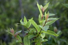 green stalks with reddish leaves   Plant Stalk with Red Stems and Green Leaves   ClipPix ETC: Educational .what is this?..