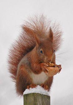 **Squirrel. Foto: poltol