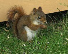 Écureuil roux -- Red Squirrel by Gilles Gonthier, via Flickr