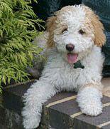 Spanish Water Dog Puppy