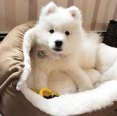 """3,238 Likes, 34 Comments - Samoyed Dogs (@samoyedpage) on Instagram: """"Hello @tato_the_samoyed #samoyedpage"""""""