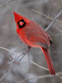 *Snow Cardinal* how pretty!