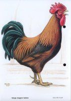 Rooster, Sketches, Animals, Picasa, Pets, Drawings, Animales, Animaux, Animal