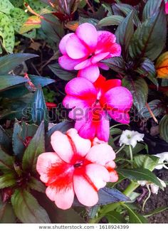 Find Bright Impatiens Shady Garden stock images in HD and millions of other royalty-free stock photos, illustrations and vectors in the Shutterstock collection. Thousands of new, high-quality pictures added every day. Bright, Photo Editing, Royalty Free Stock Photos, Victoria, Illustration, Garden, Plants, Pictures, Image