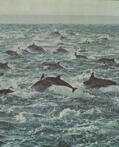 dolphins...oh the beautiful memory of swimming with the dolphins in the ocean in Hawaii...it looked just like this...amazing experience!