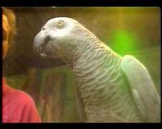 Papagaio mais inteligente do mundo