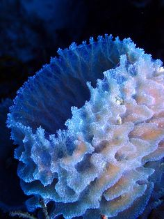 Though the photographer calls this coral, I believe it to be an Azure Vase sponge. By side78, via Flickr