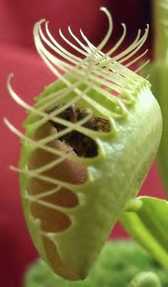 Carnivore Plant. It's beyond imagination how God created the function of this plant