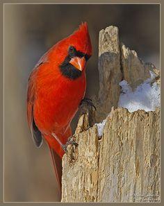 pics of cardinals | Cardinal rouge, Northern Cardinal, Cardinalis cardinalis, L=22 cm, E ...