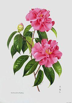 Camellia reticulata painted by Paul Jones