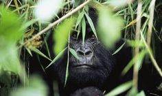 mountain gorilla photos - Google Search