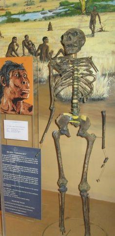turkana boy - homo erectus/ergaster