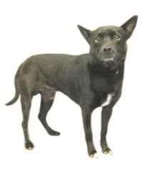 SKIPPY is an adoptable Schipperke mix, Dog; in Inverness, FLORIDA