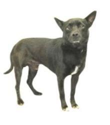 SKIPPY: Schipperke mix, Dog; Inverness, FL #Schipperke http://dogtrainingvideosonline.info