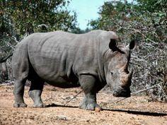 El rinoceronte es un animal crepuscular, y por lo tanto se alimentará durante el amanecer y el atardecer. Durante el calor del día a menudo ...