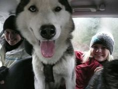 Volunteering at a a Siberian Husky Centre in Austria. More posts at http://www.the-working-traveller.com/working-abroad-resources/bloggers-guides-to-working-abroad/