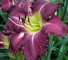 TOOTH - HANSEN 2000 Roth Daylilies, East Peoria, IL