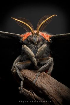 """""""Goth Moth"""" (Cecropia).  Well, a """"creature"""" if not technically """"animal"""":)"""