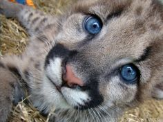 Blue Askew, by ~HeWhoWalksWithTigers.Geronimo, a young cougar (Puma concolor) at Jungle Cat World, has some of the most captivating blue eyes you will ever see in an animal. Even the folks at the zoo took note. I Love Cats, Big Cats, Cool Cats, Cats And Kittens, Kitty Cats, Baby Kitty, Beautiful Blue Eyes, Beautiful Cats, Animals Beautiful