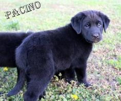 Pacino is an adoptable Rottweiler Dog in Evansville, IN. Hello everyone I am Pacino a baby male Rottweiler and Newfoundland mix. Me and my siblings joined Bullie Nation Rescue at just 4 weeks old afte...Applied for him today :)