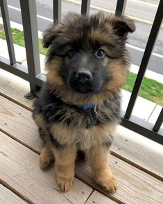 Cute Dogs Breeds, Cute Dogs And Puppies, Baby Dogs, Dog Breeds, Doggies, Gsd Puppies, Dogs Pitbull, Baby German Shepherds, Cute German Shepherd Puppies
