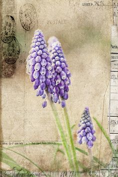 Spring Delivery - grape hyacinths
