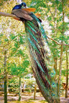 peacock-perching-lisa-merman-bender.jpg (599×900)