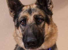 ***01/2018 Ronin: Breed: German Shepherd Age: 8y 2m Gender: Male Color: Black / Tan Spayed/Neutered: Yes Size: Large *Ronin will require a more extensive approval process than some of our other dogs* Ronin is available at the National Mill Dog Rescue in Colorado Springs, Co.
