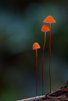 Orange marasmius by Steve Axford Bokeh