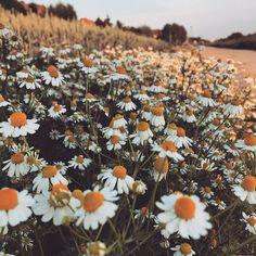 Rumiankowa łąka - stąd po horyzont... #kwitnienie #rumianek #camomile #łąka #meadow #wiosna #spring