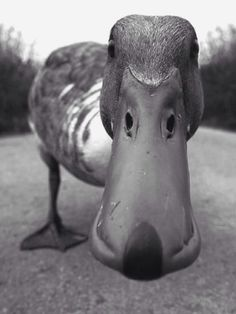 Curious Duck. Photograph by Tilly Meijer. ° ♡... re-pin by StoneArtUSA.com ~ affordable custom pet memorials for everyone
