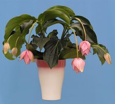 Medinilla Plant Care How to water Medinilla Magnifica from the bottom Exotic Plants, Tropical Plants, Flowers Nature, Beautiful Flowers, Trees To Plant, Plant Leaves, Household Plants, Gardening Zones, Perfect Plants