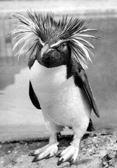 Harold the gold crested rock hopper penguin at London Zoo~June 1956.