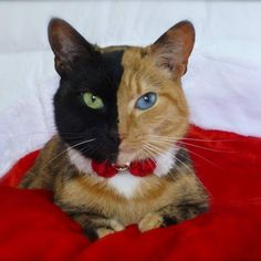Venus – The Amazing Chimera Cat Venus is one half ginger cat, one half black cat, and 100% adorable. Due to a unique gene variation, her stunning good looks have amassed quite a following on Facebook.