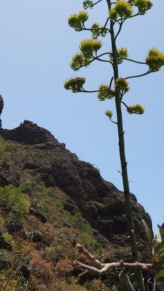 Agave - Canary Islands