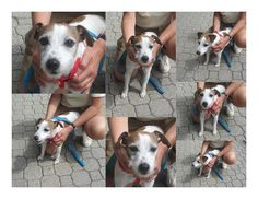 Buddy is a 12 year old neutered male JRT at FARM in need of a forever home. He is housebroken, crate trained, good with other dogs, good in the car, sleeps with you all night long and loves to be with you or near you. He is not destructive; he likes...