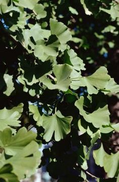 How to Use Ginkgo Biloba for Tinnitus